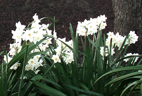 paperwhites across the lane