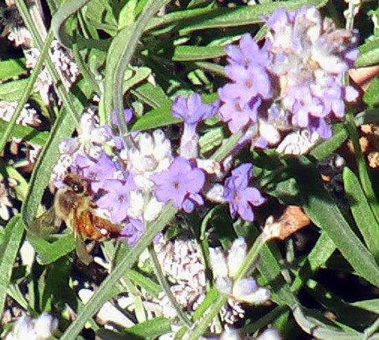 Lavender + Bee