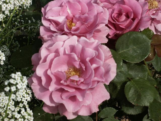 Angel Face Hybrid Tea Rose
